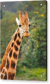 Curious Giraffe Acrylic Print by Naman Imagery