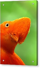 Curious Acrylic Print by Linda Russell