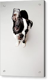 Curious Acrylic Print by Square Dog Photography