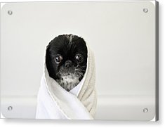 Cute Dog Wrapped Acrylic Print by Emma Mayfield Photography
