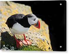 Cute Puffin In West Iceland Acrylic Print by Matthias Hauser