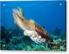 Cuttlefish Acrylic Print by Dave Fleetham - Printscapes