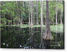 Cypress Swamp Acrylic Print by Carol Groenen