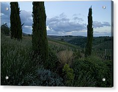 Cypress Trees Growing In The Rolling Acrylic Print by Todd Gipstein