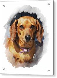 Dachshund 740 Acrylic Print by Larry Matthews