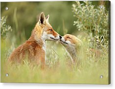 Daddy's Girl - Red Fox Father And Its Young Fox Kit Acrylic Print by Roeselien Raimond
