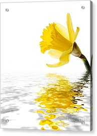 Daffodil Reflected Acrylic Print by Jane Rix