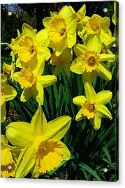 Daffodils 2010 Acrylic Print by Anna Villarreal Garbis