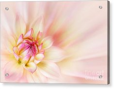 Dahlia Acrylic Print by John Edwards
