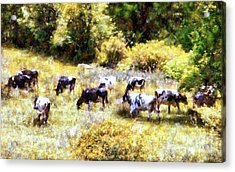Dairy Cows In A Summer Pasture Acrylic Print by Janine Riley