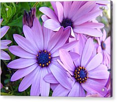 Daisies Lavender Purple Daisy Flowers Baslee Troutman Acrylic Print by Baslee Troutman