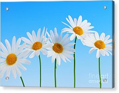 Daisy Flowers On Blue Acrylic Print by Elena Elisseeva
