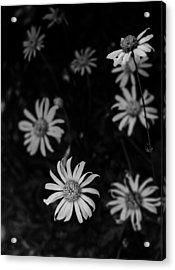 Daisy  Acrylic Print by Mario Celzner