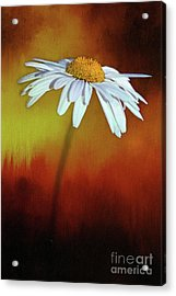 Daisy On Heat By Kaye Menner Acrylic Print by Kaye Menner