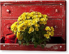 Daisy Plant In Drawers Acrylic Print by Garry Gay