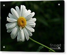 Daisy  Acrylic Print by Steve Augustin