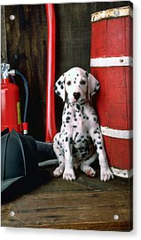 Dalmatian Puppy With Fireman's Helmet  Acrylic Print by Garry Gay