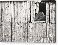Damaged Hut Acrylic Print by Tom Gowanlock