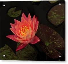 Damp Waterlily Acrylic Print by Jean Noren