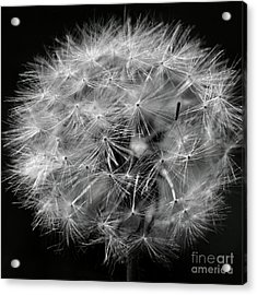 Dandelion 2016 Black And White Square Acrylic Print by Karen Adams