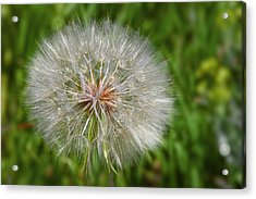 Dandelion Puff - The Summer Queen Acrylic Print by Christine Till