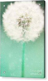 Dandelion Seed Acrylic Print by Kim Fearheiley