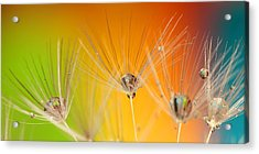 Dandelion Seed With Water Drops Acrylic Print by Nguyen Truc