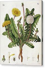 Dandelion Acrylic Print by William Kilburn