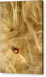 Dandelions Fairy Tales Iv Acrylic Print by Iris Greenwell