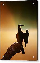 Darter Bird With Misty Sunrise Acrylic Print by Johan Swanepoel