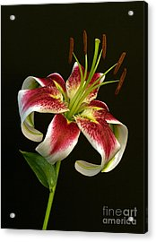Day Lily Majesty Acrylic Print by Robert Pilkington