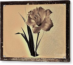 Daylily Of Old Acrylic Print by Marsha Heiken