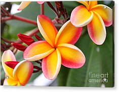 Delicate Plumeria Acrylic Print by Brian Governale