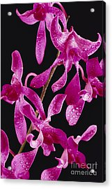Dendrobium Orchids Acrylic Print by Carl Shaneff - Printscapes
