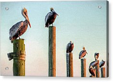 Destin Pelicans-the Peanut Gallery Acrylic Print by JC Findley