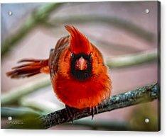 Determined Cardinal  Acrylic Print by LeeAnn McLaneGoetz McLaneGoetzStudioLLCcom