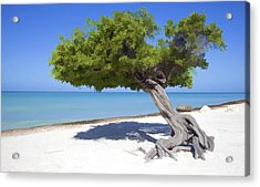 Divi Tree Of Aruba Acrylic Print by David Letts