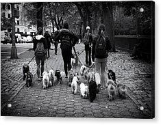 Dog Walking Acrylic Print by Jessica Jenney