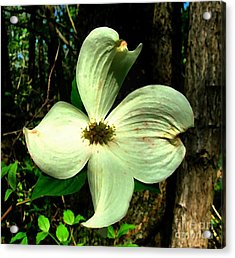 Dogwood Blossom I Acrylic Print by Julie Dant