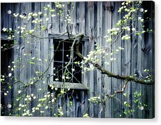 Dogwood Blossoms  Acrylic Print by Thomas Schoeller