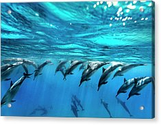 Dolphin Dive Acrylic Print by Sean Davey
