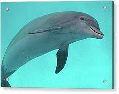 Dolphin Acrylic Print by Sandy Keeton