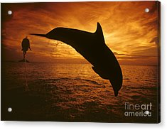 Dolphins And Sunset Acrylic Print by Dave Fleetham - Printscapes