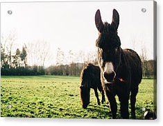 Donkey And Pony Acrylic Print by Pati Photography