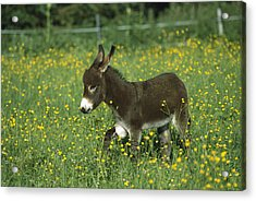 Donkey Equus Asinus Foal In Field Acrylic Print by Konrad Wothe