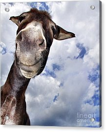 Donkey With Fun Acrylic Print by Claudia Otte