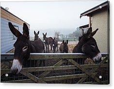 Donkeys Acrylic Print by Dawn OConnor