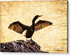Double-crested Cormorant Acrylic Print by Bob Orsillo