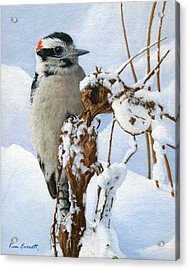 Downy Woodpecker  Acrylic Print by Ken Everett