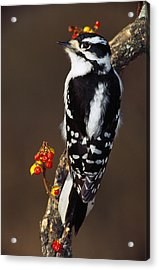 Downy Woodpecker On Tree Branch Acrylic Print by Panoramic Images